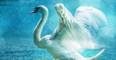 http://pixabay.com/static/uploads/photo/2014/12/30/21/50/swan-584412_640.jpg